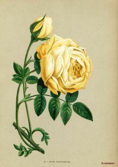 'Rose Sulfureuse'