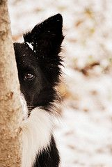 """I'll be watching you."" #Border #Collie"