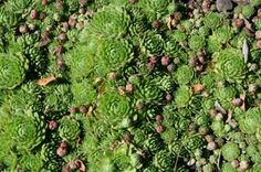 Perennial: should be potted. Hens and chicks are members of the Sempervivum group of succulent plants. They are commonly called houseleeks and grow well indoors and out. Read here for tips on growing hens and chicks. Propagate Succulents From Leaves, Growing Succulents, Cacti And Succulents, Growing Plants, Planting Succulents, Growing Flowers, Full Sun Plants, Border Plants, Plant Guide