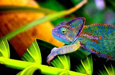 about chameleons  they are agile in their environment  their colors are a beautiful representation of their personality  they respond well to open adventures
