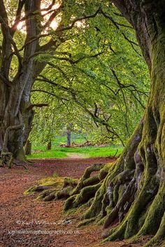 Kinclaven Beech, Perthshire, Scotland