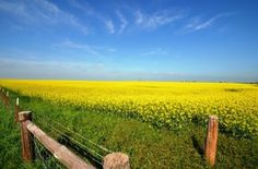 South of Lawton Oklahoma - pretty sure these are Canola plants. It is just beautiful!!
