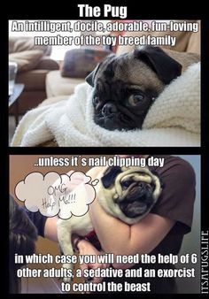 This is so so so true. Pugs are great dogs, except for nail trimming. There are many pugs that I dislike simply because they're terrible for it. Funny Dogs, Funny Animals, Cute Animals, Pug Life, Fu Dog, Dog Cat, Raza Pug, Tableau Pop Art, Funny Pugs