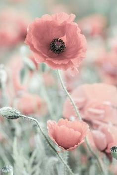 red corn poppy - love these colors Amazing Flowers, Wild Flowers, Beautiful Flowers, Poppies Tattoo, Pretty Wallpapers, Pretty Pastel, Flower Pictures, Flower Art, Planting Flowers