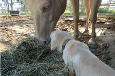 Most canines and equines can enjoy a great relationship on the trail, camping, on the farm, or almost anywhere with a few considerations.