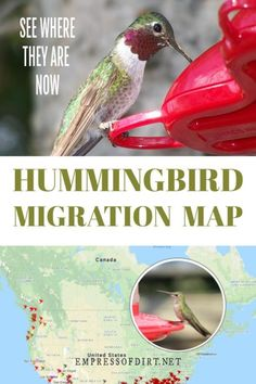 Use this map to see where hummingbird migrations are in the United States and Canada. #hummingbirds #migrations #empressofdirt