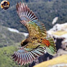 Love Birds, Beautiful Birds, New Zealand Tattoo, New Zealand Houses, Animal Magic, Exotic Birds, Nature Pictures, Birds In Flight, Pet Birds