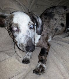 This is Dudley... He is a 5 month old Piebald Doxie pulled from a shelter in Los Angeles on 10-20-12... He is getting his eye repaired on 10-25, he will then be available for adoption!!!