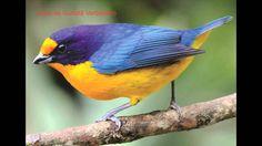 sons de passarinhos do Brasil pt 2