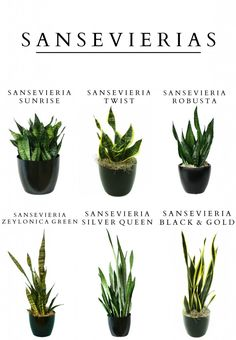 Sansevieria (In my current garden) ... [Full/partial sun, USDA 9 to 15, AHS 12…