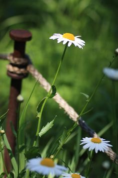 Daisies by the wayside... - (country, rural, farmstead, flowers)