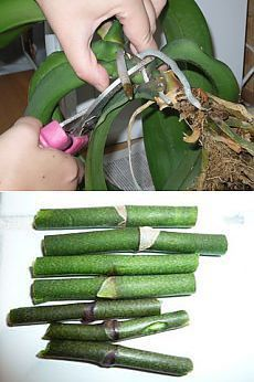 Как размножать орхидею фаленопсис.