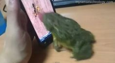 A frog catches insects on a smartphone  VIDEO here : http://www.mysensetechnology.com/2012/01/information-technology-frog-catches.html