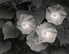 Morning Glories ~ Photo by Ansel Adams; Massachusetts, 1958 Gotta have some Ansel Adams in my collection of black & white photos, eh? Ansel Adams Photography, Fine Art Photography, Nature Photography, Photography Sketchbook, Conceptual Photography, Black And White Landscape, Black N White Images, Famous Photographers, Landscape Photographers