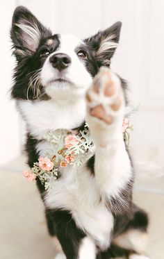 Most recent Images Border Collies photography Popular The particular Boundary Collie hails from your borderlands of Britain as well as Scotland (hence this identify. Perros Border Collie, Border Collie Puppies, Collie Dog, Border Collies, Cute Puppies, Cute Dogs, Dogs And Puppies, Doggies, Beautiful Dogs