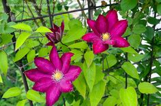 Come learn How to Grow Clematis for fabulous climbing color in your garden. Get long lasting blooms and vigorous growth, cover a trellis or arbor!