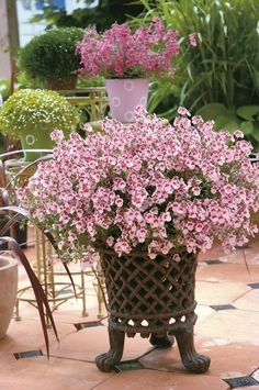 Flirtation® Pink Diascia will color your home easily in the early months of the season, or during the winter if you live in the south.