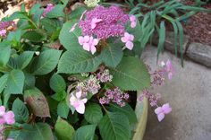 Hydrangea Twist and Shout - It's critical, though, to deadhead the blooms in order to keep them blooming all season.