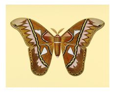 Public Domain | Attacus Atlas Moth (Attacus Aurora) illustrated by Charles Dessalines D' Orbigny (1806-1876). Digitally enhanced from our own 1892 edition of Dictionnaire Universel D'histoire Naturelle.