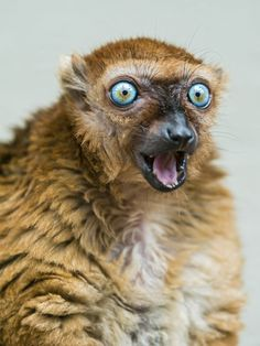 female Sclaters lemur. Wow, look at those eyes. Also known as the black blue-eyed lemur. Critically Endangered. So sad.