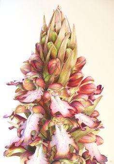 Barlia, Robert's Giant Orchid