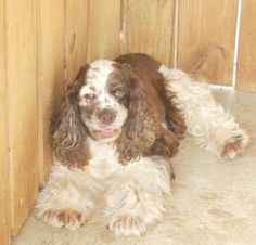 COCOA ~ QUIET ~ ABSOLUTELY WONDERFUL!! is an adoptable Cocker Spaniel Dog in Woodsfield, OH. COCOA FEMALE COCKER SPANIEL 3YRS. ADOPTION FEE $150.00 TEETH JUST CLEANED/SHOTS UPDATED/MICROCHIPPED   COCO...