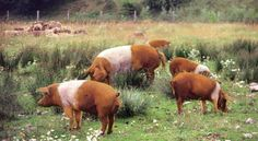 Rotbuntes Husumer Schwein (jpg 2683×1467)