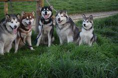 Whiteout Alaskan Malamutes Spring 2017 Giant Alaskan Malamute, Malamute Puppies, Husky, Wolf, Cute Animals, Pets, Spring, Pretty Animals, Cutest Animals