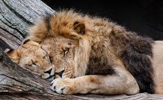 Lion and Lioness Animals And Pets, Baby Animals, Cute Animals, Lion Pictures, Animal Pictures, Beautiful Cats, Animals Beautiful, Big Cats, Cats And Kittens