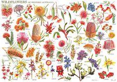 Wild Flowers of Western Australia Wall Chart