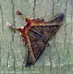 AMAZING beautiful MOTH found in Mexico ! Photograph courtesy of Juan Carlos Garcia. Cool Insects, Flying Insects, Beautiful Bugs, Beautiful Butterflies, Butterfly Kisses, Butterfly Wings, Wild Life, Caterpillar Insect, Flying Flowers