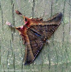 Sematura moth