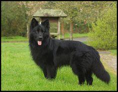 long haired black german shepherd - Google Search
