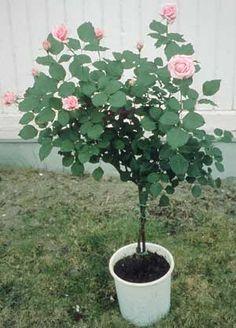 Uppstammad ros i kruka med rosa blommor