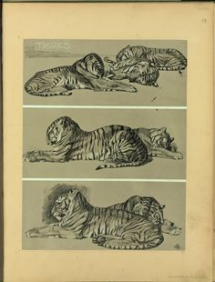 Tigres - ID: 102350 - NYPL Digital Gallery