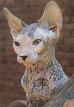 There are pros and cons on tattooing a Sphynx cat. Below are some of them: Pros Some people consider tattooing a Sphynx cat as beautifu. Gato Sphinx, Cool Cats, Kitty Tattoos, Tattoo Cat, Son Chat, Tier Fotos, Here Kitty Kitty, Animal Tattoos, Crazy Cat Lady