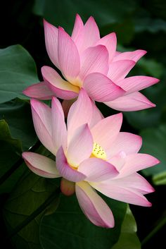 pink lotus flowers - Romancing | Flickr - Photo Sharing!