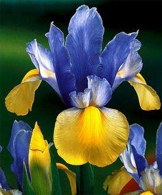 Dutch iris oriental beauty