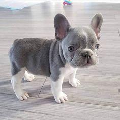Cute French Bulldog Puppies You Wanna Take Home Super Cute Puppies, Baby Animals Super Cute, Cute Baby Dogs, Cute Little Puppies, Cute Dogs And Puppies, Cute Little Animals, Cute Funny Animals, Doggies, Baby Pugs