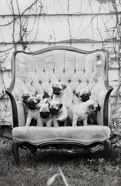 All pugs know that they deserve a special chair...