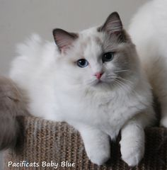 Baby  ragdoll cat. This is the kitty I want!!