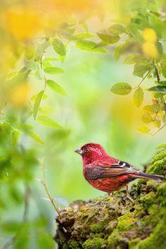 台灣朱雀 ~ Taiwan Rosefinch ~ - stock photo