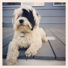 My Tibetan Terrier in her favorite spot- watching on the back deck ( Eleanor Rigby)
