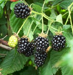 Blackberries are a very easy fruit to grow. However tempting, do not grow plants unless you are certain they are virus-free since viruses are a widespread problem with blackberries.