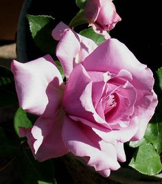 ~Rose Love Song.
