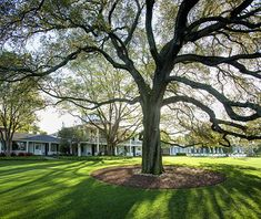 Oak at the Augusta National
