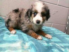 1 of 9 from same family #A470331 RELEASE DATE: 8/16  I am a male, blue merle and white Australian Shepherd. Shelter staff think I am about 9 weeks old. I have been at the shelter since Aug 02, 2014.   PETHARBOR: http://www.petharbor.com/pet.asp?uaid=SBCT.A470331...    City of San Bernardino Animal Control-Shelter. https://www.facebook.com/photo.php?fbid=10203211844554511&set=a.10203202186593068&type=3&theater