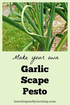 Do you grow garlic? Some types of garlic form curly flower stalks called scapes which can be used to make a fantastic garlic scape pesto. Pesto Dip, Pesto Sauce, Organic Gardening, Gardening Tips, Vegetable Gardening, Garlic Scape Pesto, Real Food Cafe, Whole Food Recipes, Healthy Recipes