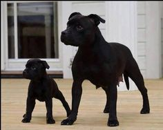 Black pittbulls - mother & baby! Gorgeous!!! #pitbulllove #pitbull