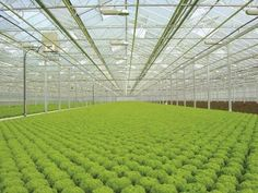 Production, Lettuce production, Lettuce, System, Nutrient Film Technique system